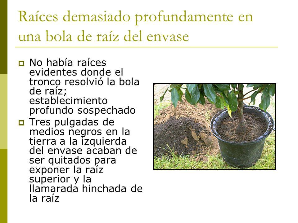 Raíces demasiado profundamente en una bola de raíz del envase No había raíces evidentes donde el tronco resolvió la bola de raíz; establecimiento prof
