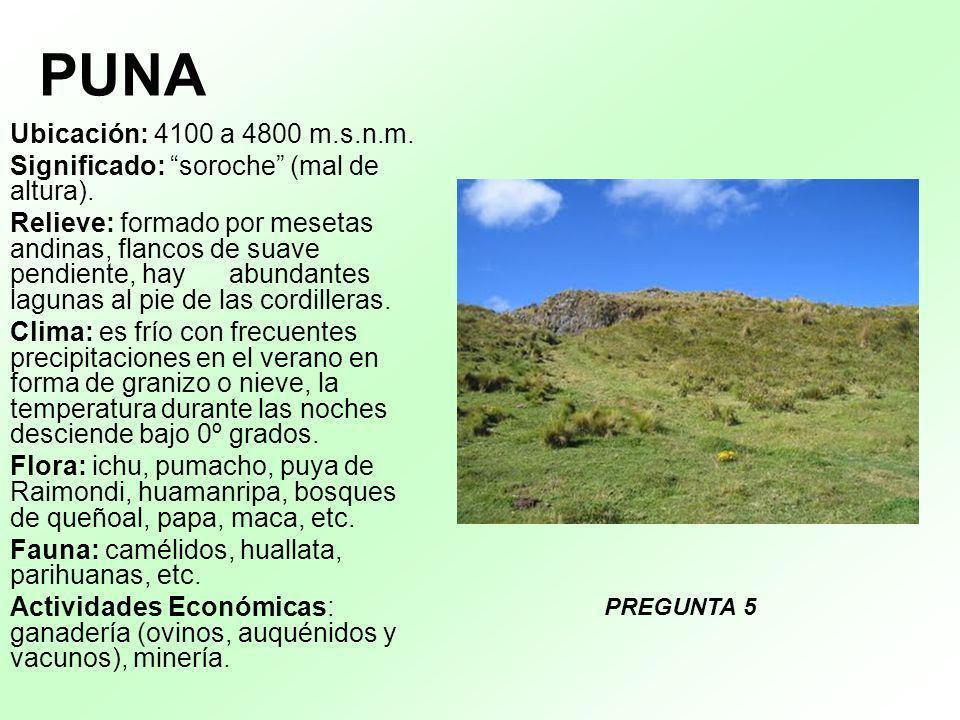 PUNA Ubicación: 4100 a 4800 m.s.n.m. Significado: soroche (mal de altura). Relieve: formado por mesetas andinas, flancos de suave pendiente, hay abund