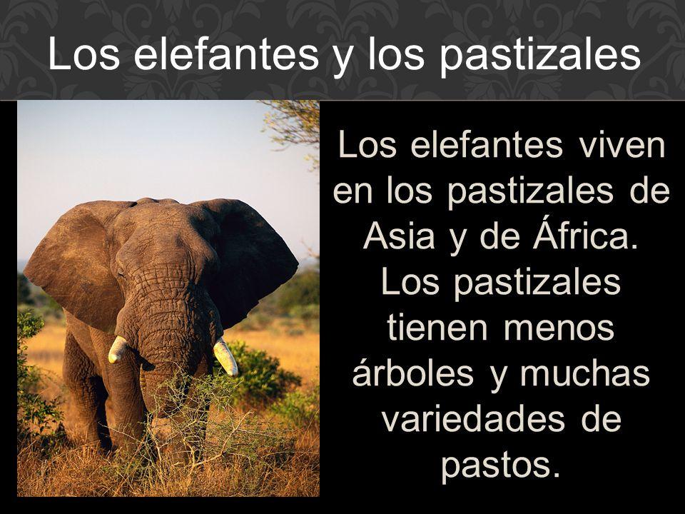Los elefantes viven en los pastizales de Asia y de África.