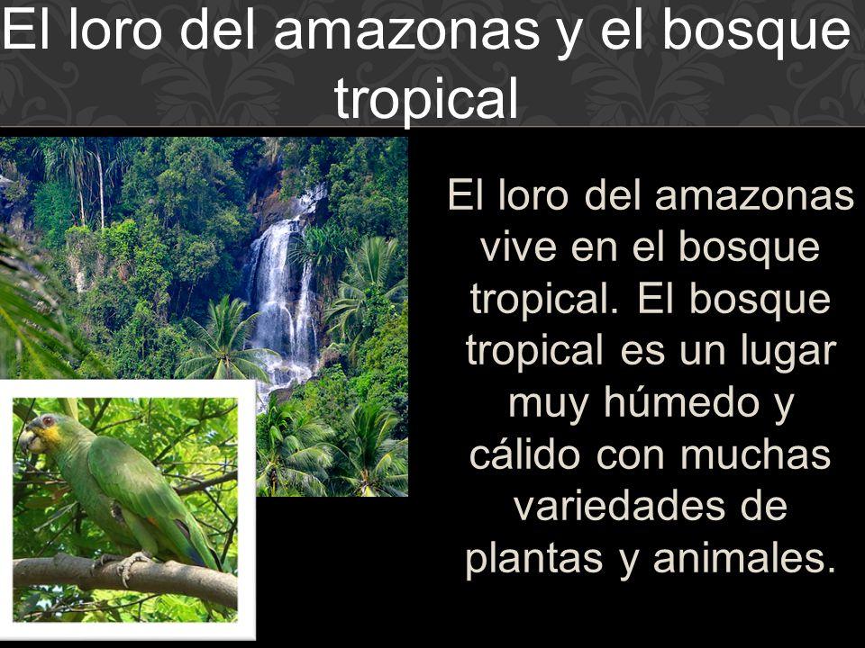 El loro del amazonas vive en el bosque tropical.