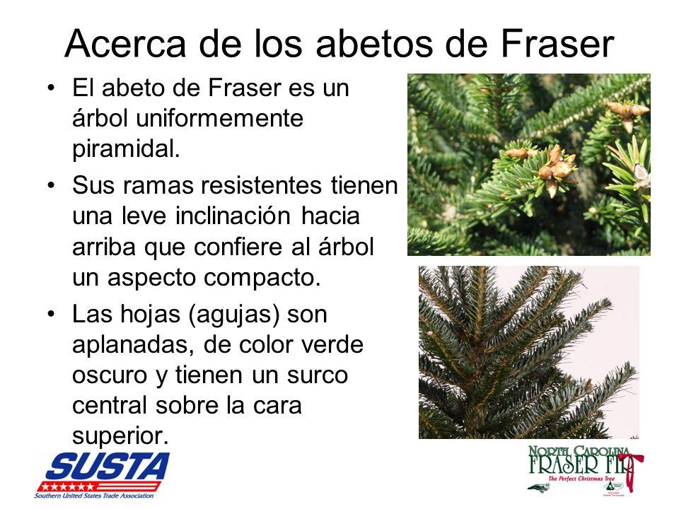 Acerca de los abetos de Fraser El abeto de Fraser es un árbol uniformemente piramidal.