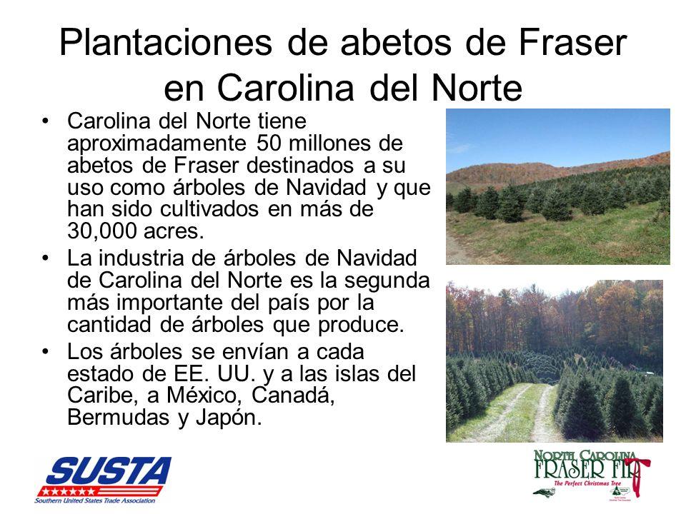 Plantaciones de abetos de Fraser en Carolina del Norte Carolina del Norte tiene aproximadamente 50 millones de abetos de Fraser destinados a su uso como árboles de Navidad y que han sido cultivados en más de 30,000 acres.