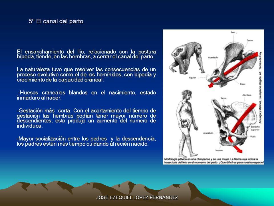 5º El canal del parto El ensanchamiento del ilio, relacionado con la postura bípeda, tiende, en las hembras, a cerrar el canal del parto. La naturalez