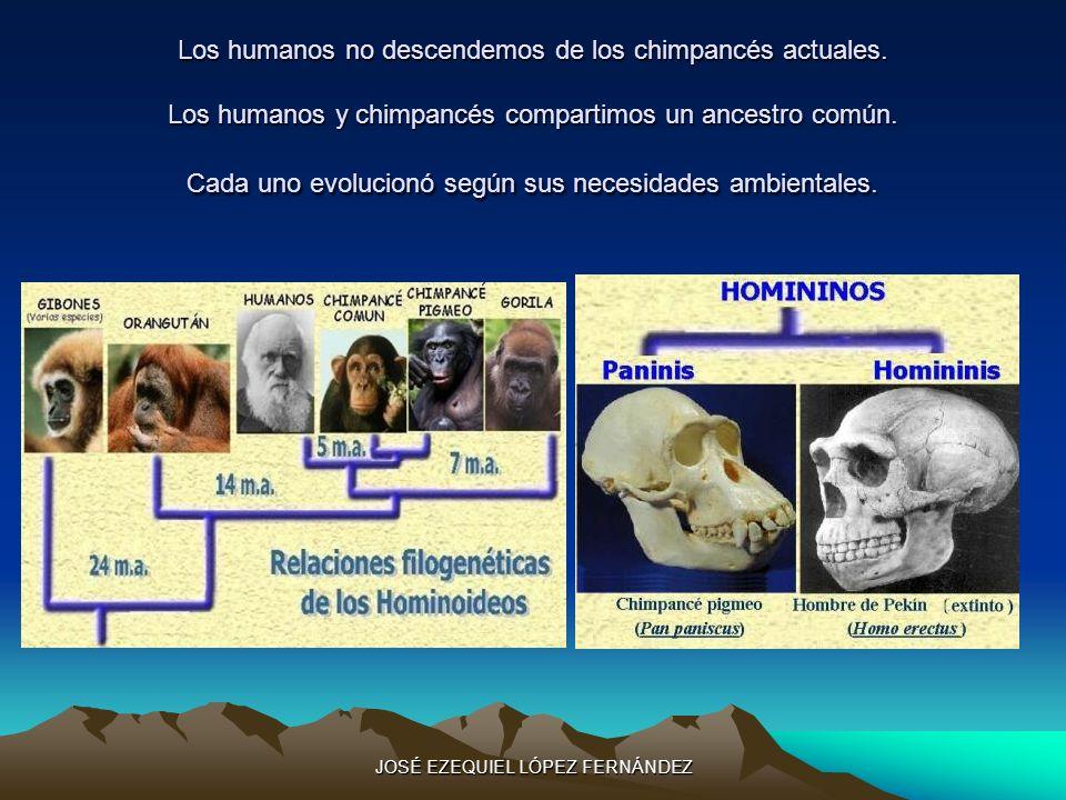 Los humanos no descendemos de los chimpancés actuales. Los humanos y chimpancés compartimos un ancestro común. Cada uno evolucionó según sus necesidad