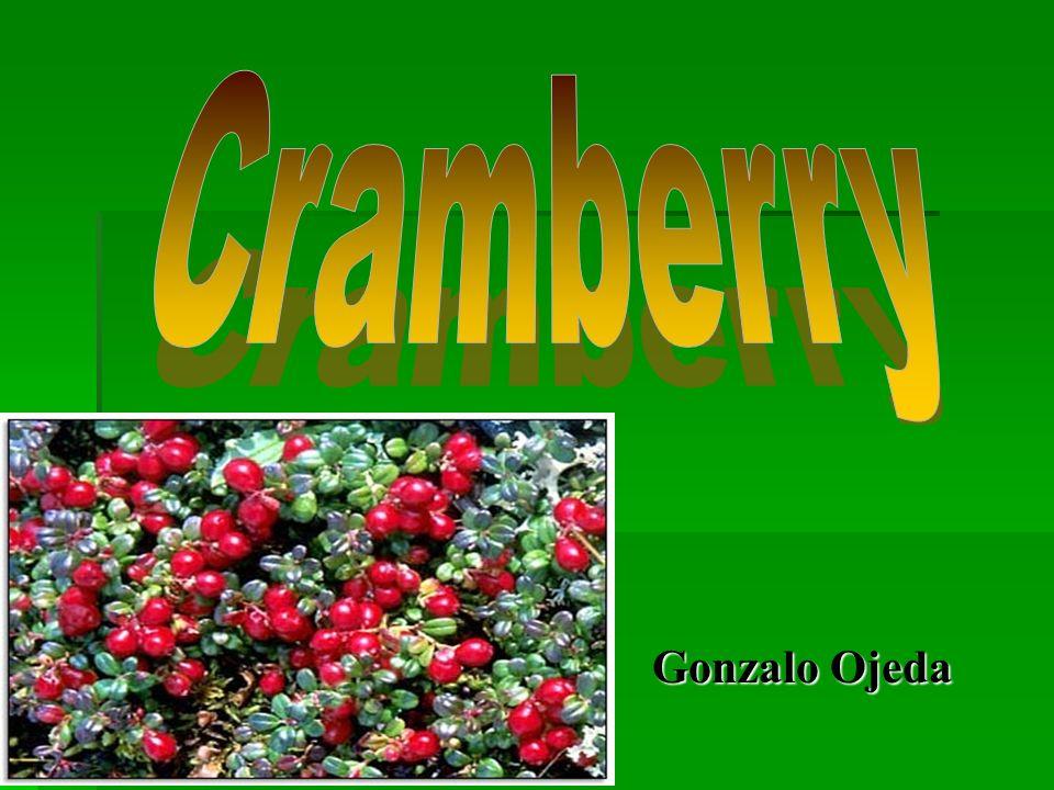 El cultivo El cultivo se realiza en lechos o colchones de cranberry que están formados por una gran cantidad de estas plantas entrelazadas por los runners.