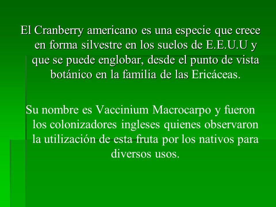 El Cranberry americano es una especie que crece en forma silvestre en los suelos de E.E.U.U y que se puede englobar, desde el punto de vista botánico