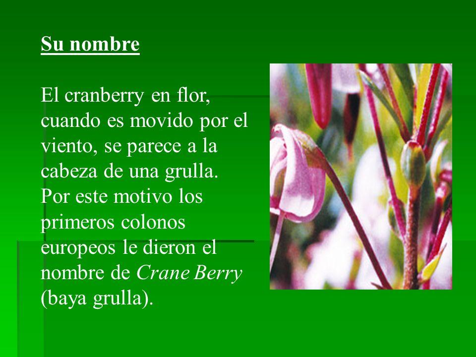 Su nombre El cranberry en flor, cuando es movido por el viento, se parece a la cabeza de una grulla. Por este motivo los primeros colonos europeos le