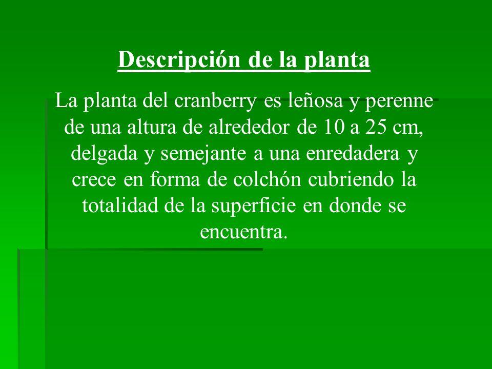 Descripción de la planta La planta del cranberry es leñosa y perenne de una altura de alrededor de 10 a 25 cm, delgada y semejante a una enredadera y