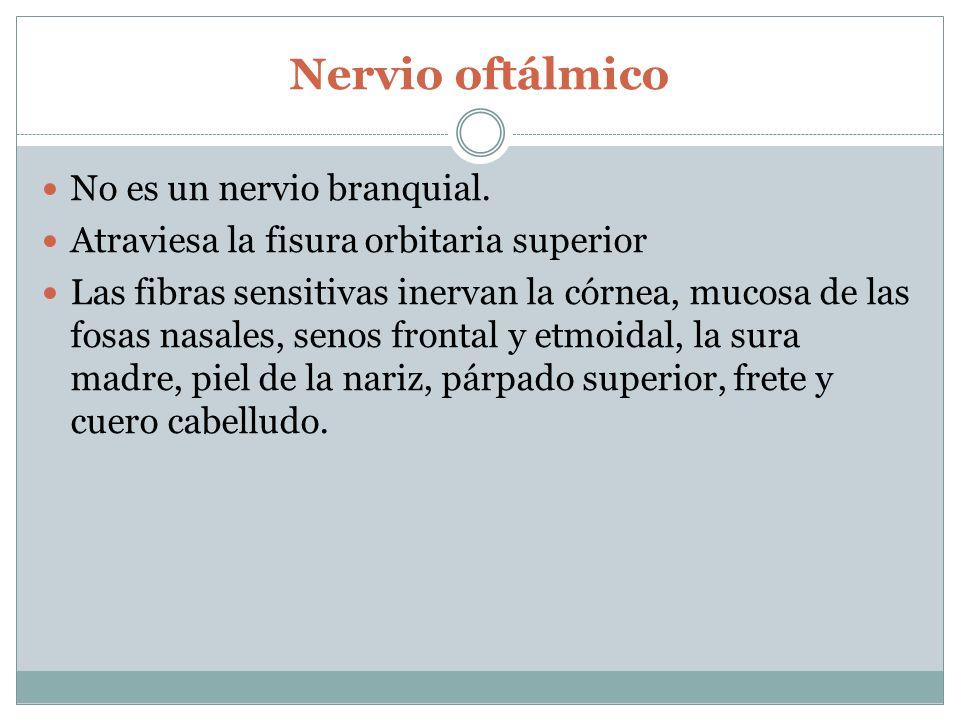 Nervio maxilar Fibras sensitivas y salen por el foramen redondo mayor.