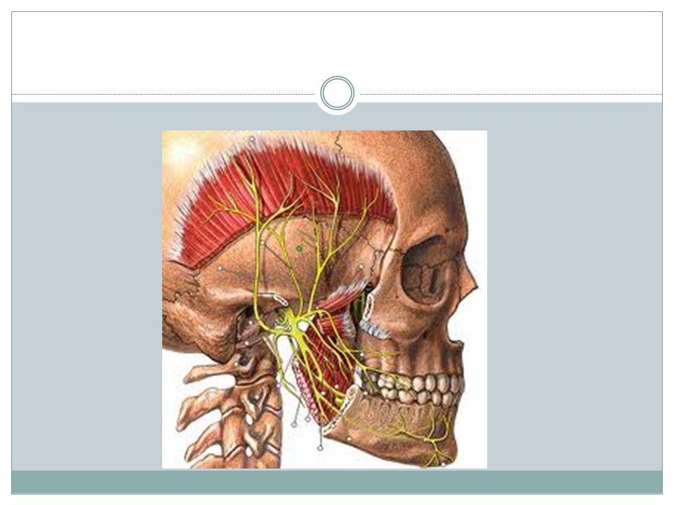 Nervio vestibulococlear: VIII Su función es sensitiva especial (aferente somática especial): audición y equilibrio.