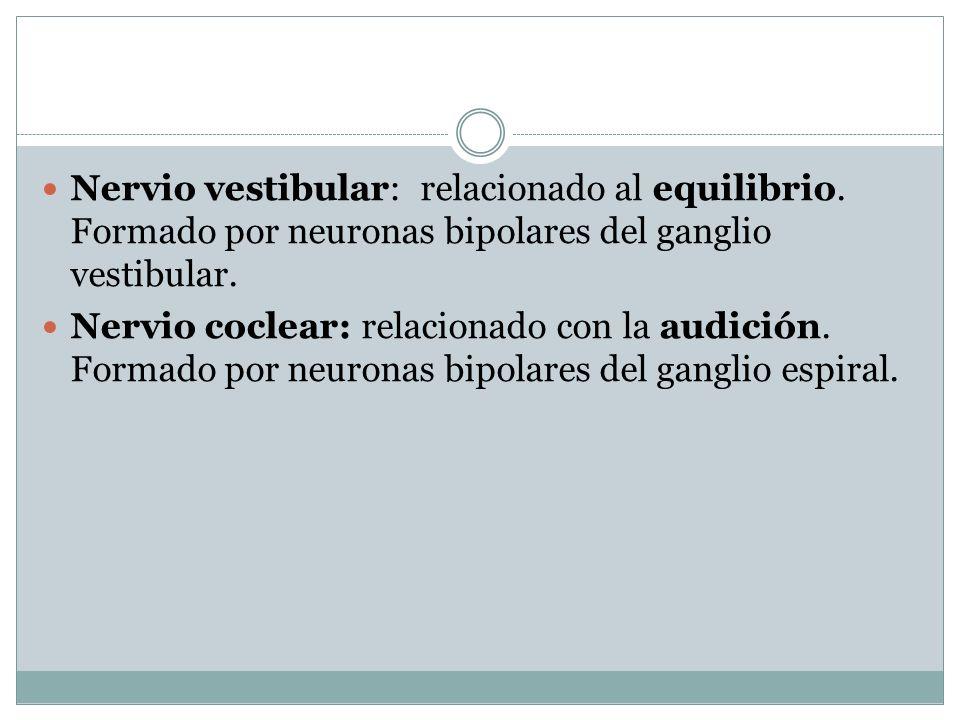 Nervio vestibular: relacionado al equilibrio.