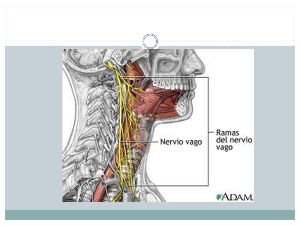 Tórax: entran por la apertura torácica superior.Da ramos al corazón, bronquios y pulmones.