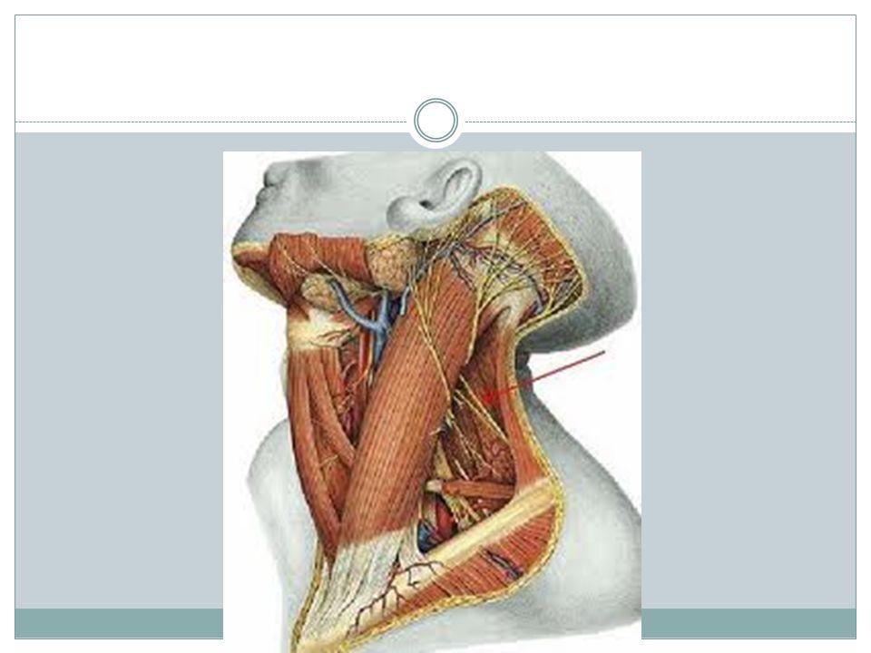 Nervio Hipogloso: XII Tiene función motora (eferente somática general) para los M.