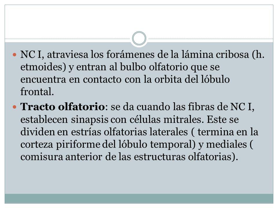 NC I, atraviesa los forámenes de la lámina cribosa (h.