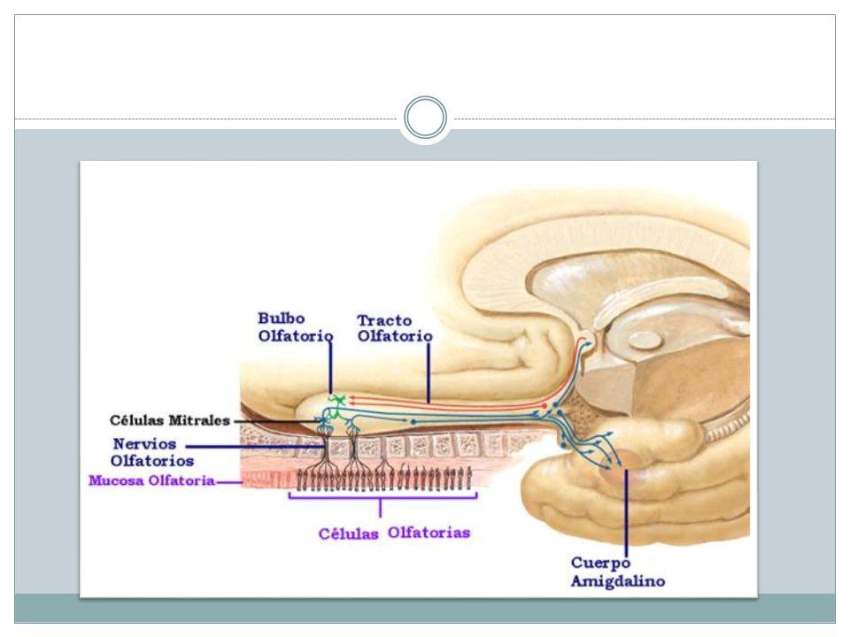 Nervio óptico: II Tiene función sensitiva especial ( aferente somática especial) Tiene un desarrollo diferente a los demás, ya que sus estructuras ( fibras ópticas, retina nerviosa y el epitelio pigmentario del globo ocular) se desarrollan como evaginaciones del diencéfalo.