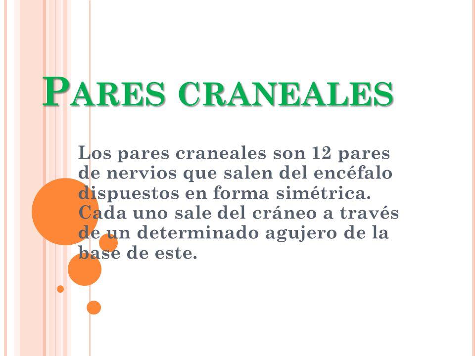 P ARES CRANEALES Los pares craneales son 12 pares de nervios que salen del encéfalo dispuestos en forma simétrica. Cada uno sale del cráneo a través d