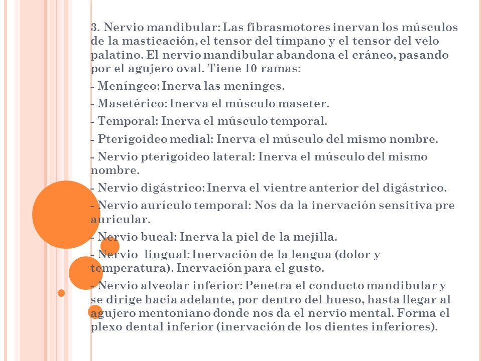 3. Nervio mandibular: Las fibrasmotores inervan los músculos de la masticación, el tensor del tímpano y el tensor del velo palatino. El nervio mandibu