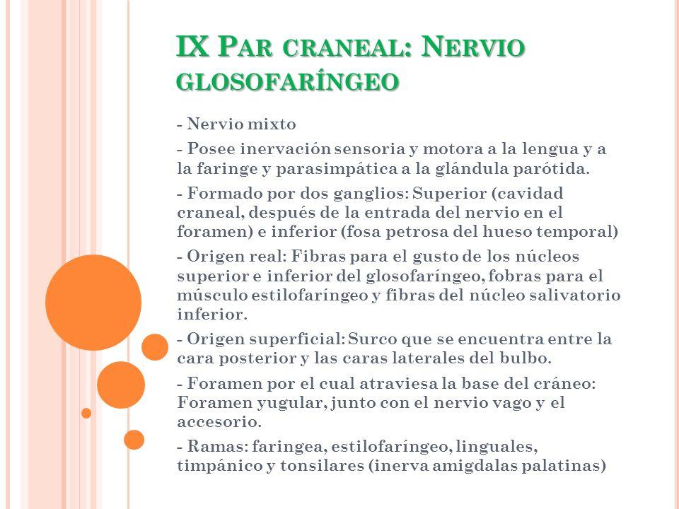 IX P AR CRANEAL : N ERVIO GLOSOFARÍNGEO - Nervio mixto - Posee inervación sensoria y motora a la lengua y a la faringe y parasimpática a la glándula p