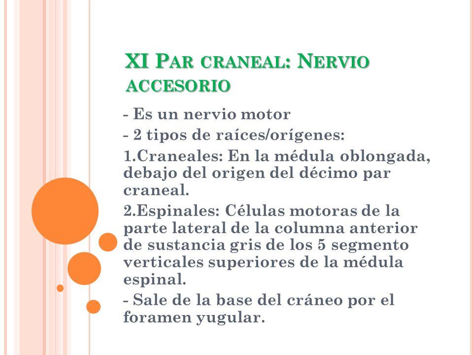 XI P AR CRANEAL : N ERVIO ACCESORIO - Es un nervio motor - 2 tipos de raíces/orígenes: 1.Craneales: En la médula oblongada, debajo del origen del déci