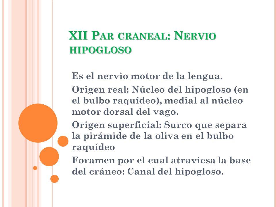 XII P AR CRANEAL : N ERVIO HIPOGLOSO Es el nervio motor de la lengua. Origen real: Núcleo del hipogloso (en el bulbo raquídeo), medial al núcleo motor