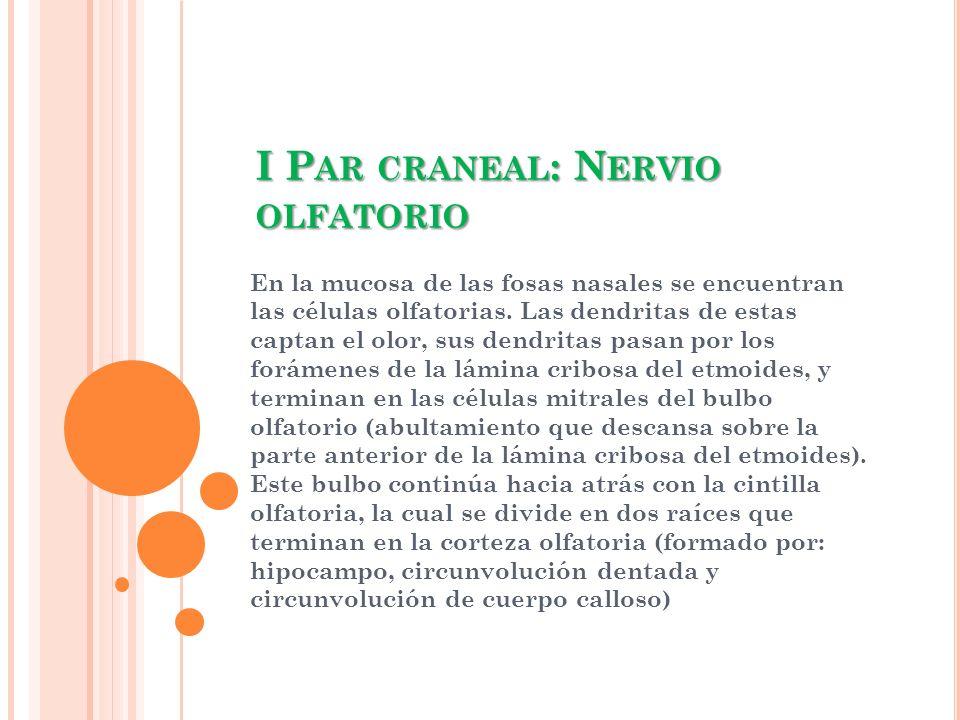I P AR CRANEAL : N ERVIO OLFATORIO En la mucosa de las fosas nasales se encuentran las células olfatorias. Las dendritas de estas captan el olor, sus