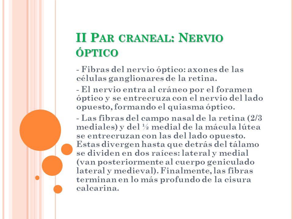 II P AR CRANEAL : N ERVIO ÓPTICO - Fibras del nervio óptico: axones de las células ganglionares de la retina. - El nervio entra al cráneo por el foram