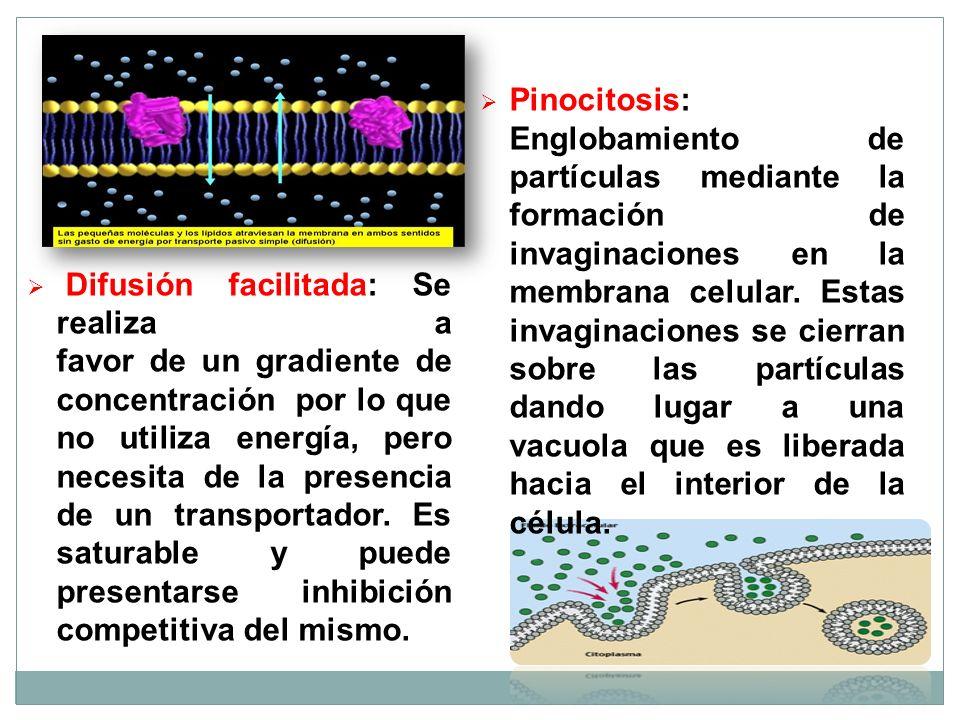 Difusión facilitada: Se realiza a favor de un gradiente de concentración por lo que no utiliza energía, pero necesita de la presencia de un transporta