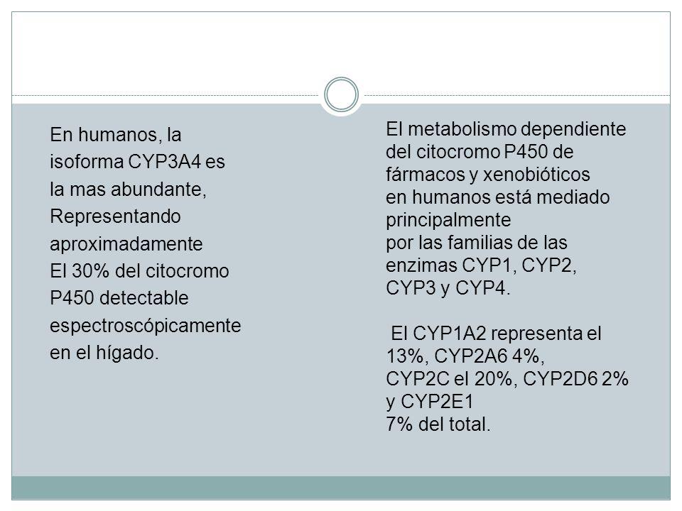 En humanos, la isoforma CYP3A4 es la mas abundante, Representando aproximadamente El 30% del citocromo P450 detectable espectroscópicamente en el híga