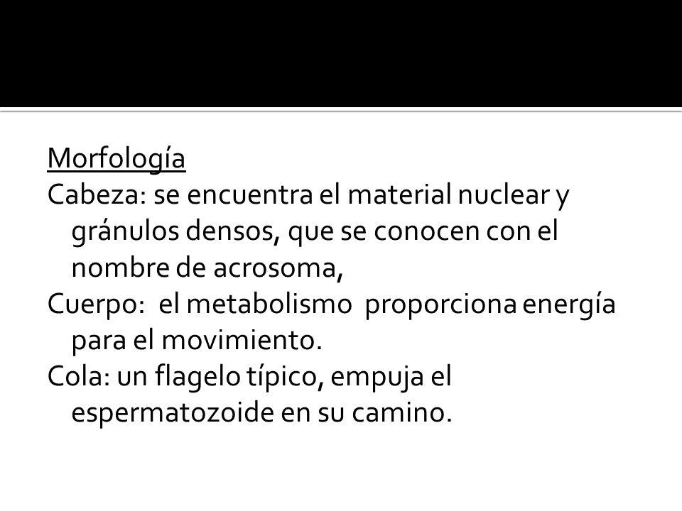 Morfología Cabeza: se encuentra el material nuclear y gránulos densos, que se conocen con el nombre de acrosoma, Cuerpo: el metabolismo proporciona energía para el movimiento.