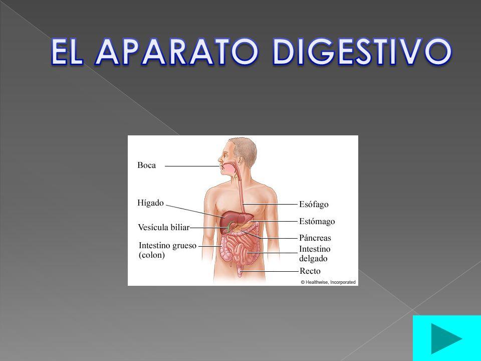 ¿Qué el hígado? ¿Qué es el páncreas? ¿Qué es el aparato digestivo?