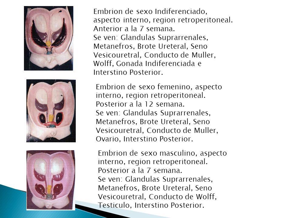 Embrion de sexo masculino, aspecto interno, region retroperitoneal. Posterior a la 7 semana. Se ven: Glandulas Suprarrenales, Metanefros, Brote Ureter