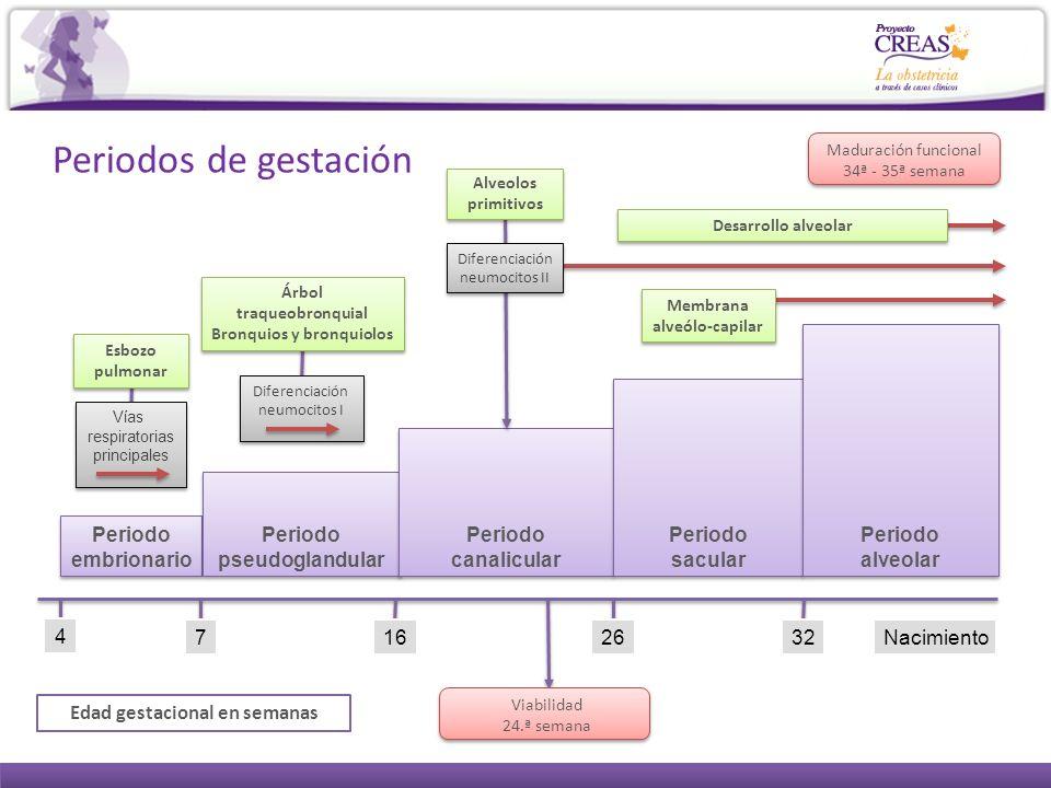 4 7 Periodo embrionario Periodo embrionario 16 Periodo pseudoglandular Periodo pseudoglandular 2632 Periodo canalicular Periodo canalicular Periodo sa