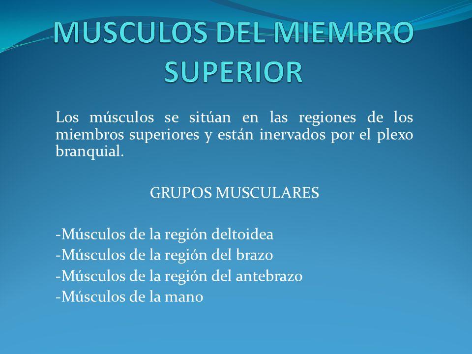 Grupo anterior: -Musculo bíceps braquial -Musculo braquial -Musculo coracobraquial Grupo posterior: -Musculo tríceps braquial -Musculo anconeo.
