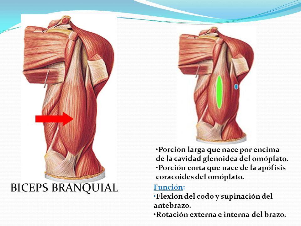 BICEPS BRANQUIAL Porción larga que nace por encima de la cavidad glenoidea del omóplato.
