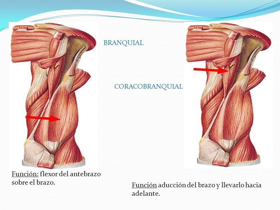 BRANQUIAL CORACOBRANQUIAL Función: flexor del antebrazo sobre el brazo.
