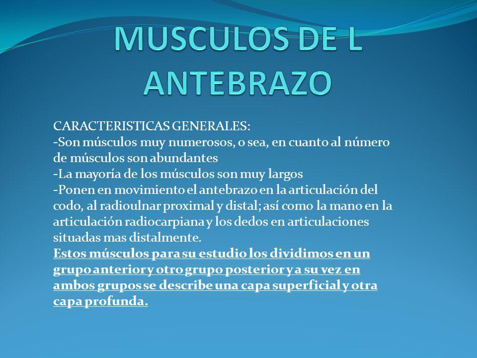 CARACTERISTICAS GENERALES: -Son músculos muy numerosos, o sea, en cuanto al número de músculos son abundantes -La mayoría de los músculos son muy largos -Ponen en movimiento el antebrazo en la articulación del codo, al radioulnar proximal y distal; así como la mano en la articulación radiocarpiana y los dedos en articulaciones situadas mas distalmente.
