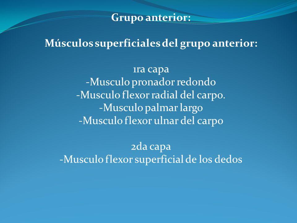 Grupo anterior: Músculos superficiales del grupo anterior: 1ra capa -Musculo pronador redondo -Musculo flexor radial del carpo.
