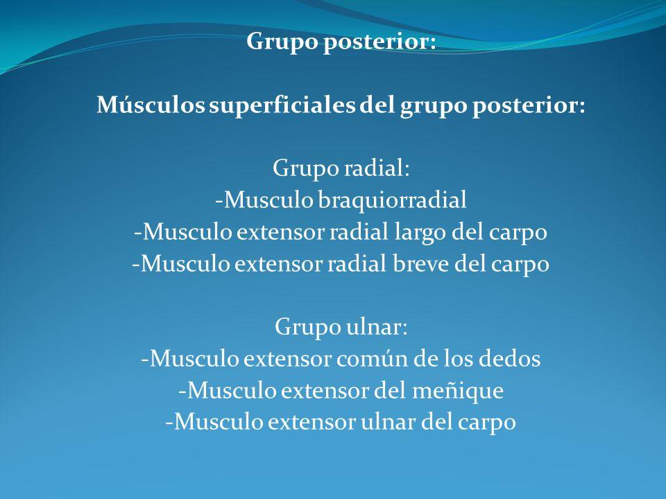 Grupo posterior: Músculos superficiales del grupo posterior: Grupo radial: -Musculo braquiorradial -Musculo extensor radial largo del carpo -Musculo extensor radial breve del carpo Grupo ulnar: -Musculo extensor común de los dedos -Musculo extensor del meñique -Musculo extensor ulnar del carpo