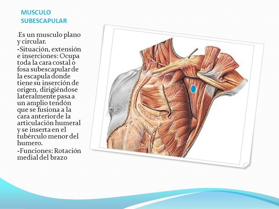 MUSCULO SUBESCAPULAR - Es un musculo plano y circular.