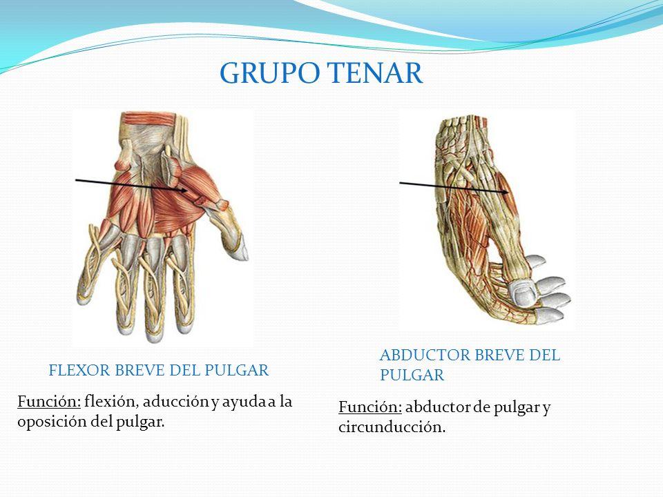 GRUPO TENAR FLEXOR BREVE DEL PULGAR ABDUCTOR BREVE DEL PULGAR Función: flexión, aducción y ayuda a la oposición del pulgar.