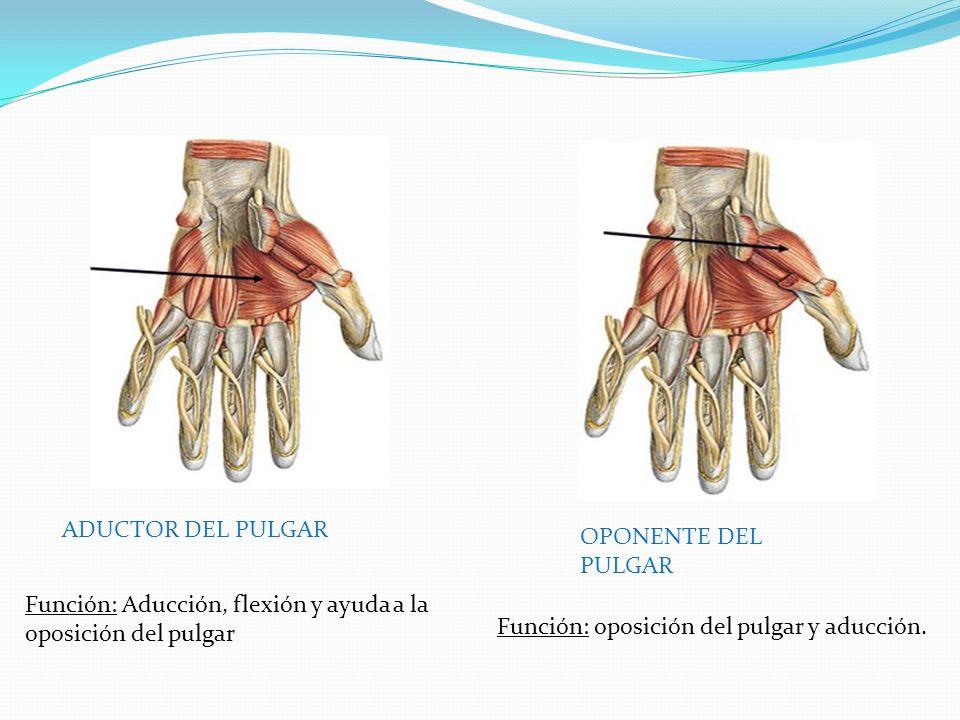 ADUCTOR DEL PULGAR OPONENTE DEL PULGAR Función: Aducción, flexión y ayuda a la oposición del pulgar Función: oposición del pulgar y aducción.