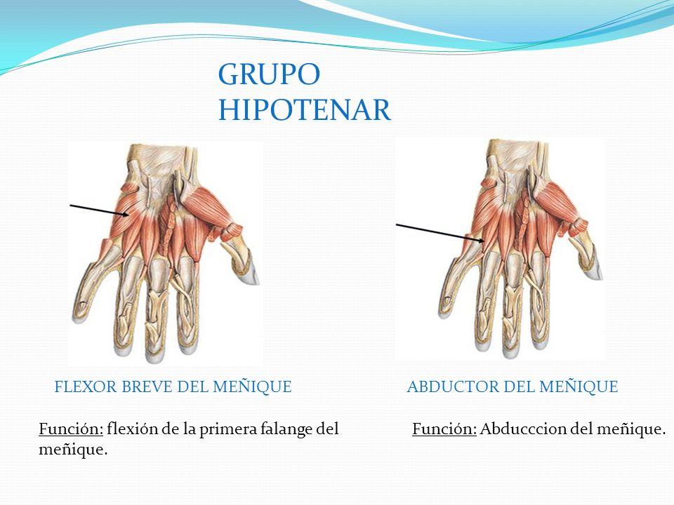 GRUPO HIPOTENAR FLEXOR BREVE DEL MEÑIQUEABDUCTOR DEL MEÑIQUE Función: flexión de la primera falange del meñique.