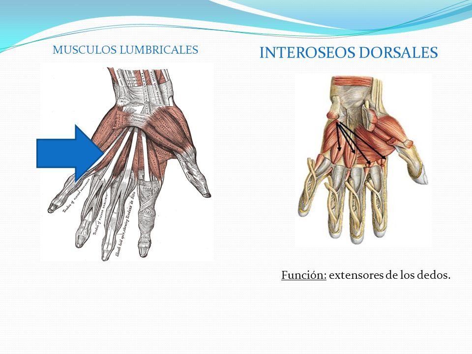 INTEROSEOS DORSALES MUSCULOS LUMBRICALES Función: extensores de los dedos.