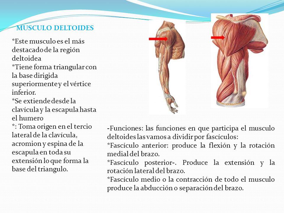 -Es un musculo triangular que tiene la misma dirección que le fascículo medio del musculo deltoides y los dos cruzan por arriba la articulación humeral.