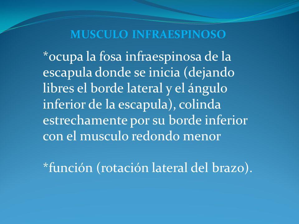 MUSCULO INFRAESPINOSO *ocupa la fosa infraespinosa de la escapula donde se inicia (dejando libres el borde lateral y el ángulo inferior de la escapula), colinda estrechamente por su borde inferior con el musculo redondo menor *función (rotación lateral del brazo).