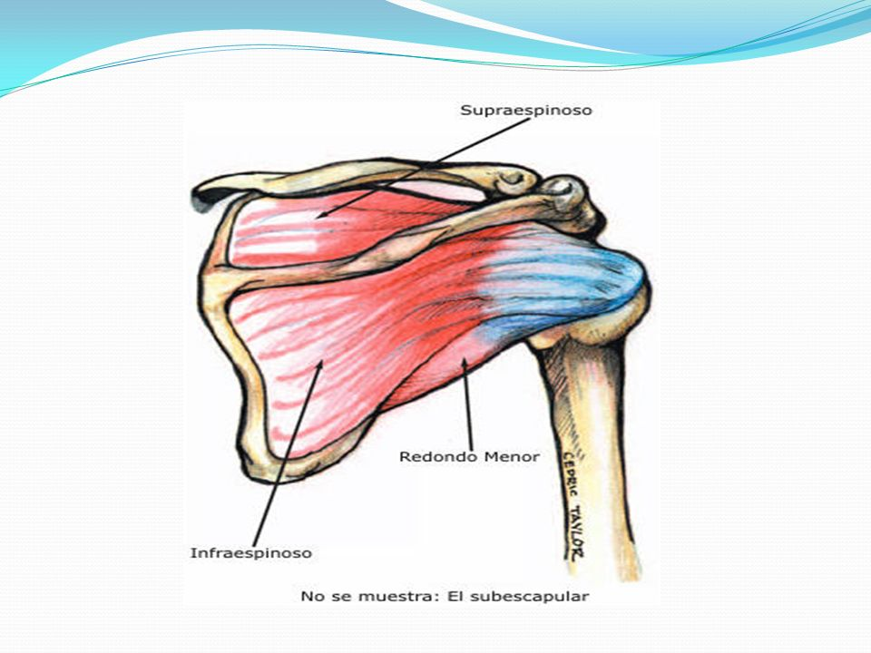 * El musculo redondo mayor se inicia en el ángulo inferior de la escapula por su cara posterior, se dirige a lo largo del borde lateral de la escapula, cruza por detrás la articulación humeral y tiene la misma inserción terminal que el dorsal ancho (cresta del tubérculo menor del humero), por lo que realizan las mismas funciones al actuar sobre la articulación humeral (extensión, aducción y rotación medial del brazo).