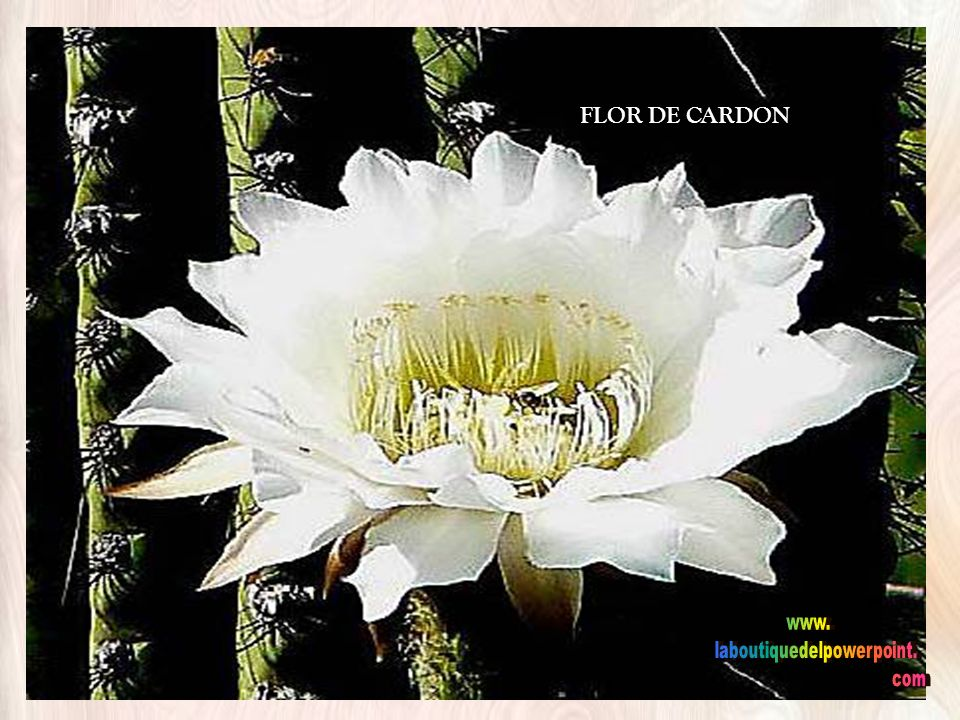 Los gigantes: EL CARDON Planta de la región Los gigantes: EL CARDON Planta de la región
