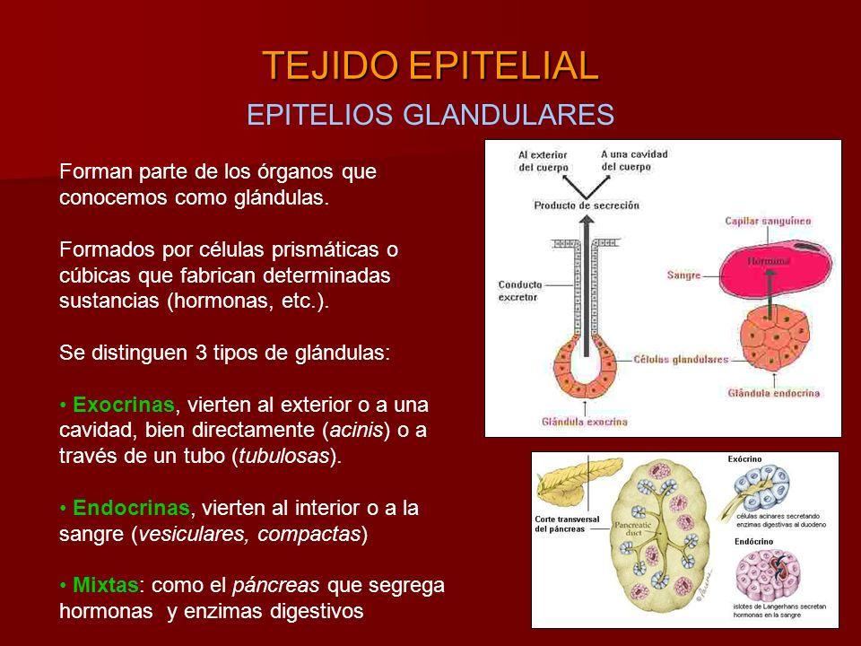 EPITELIOS GLANDULARES TEJIDO EPITELIAL Forman parte de los órganos que conocemos como glándulas.