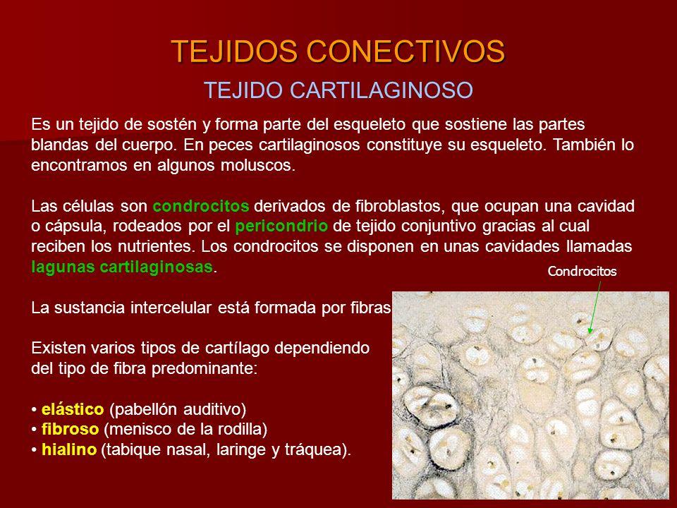 TEJIDOS CONECTIVOS TEJIDO CARTILAGINOSO Es un tejido de sostén y forma parte del esqueleto que sostiene las partes blandas del cuerpo.