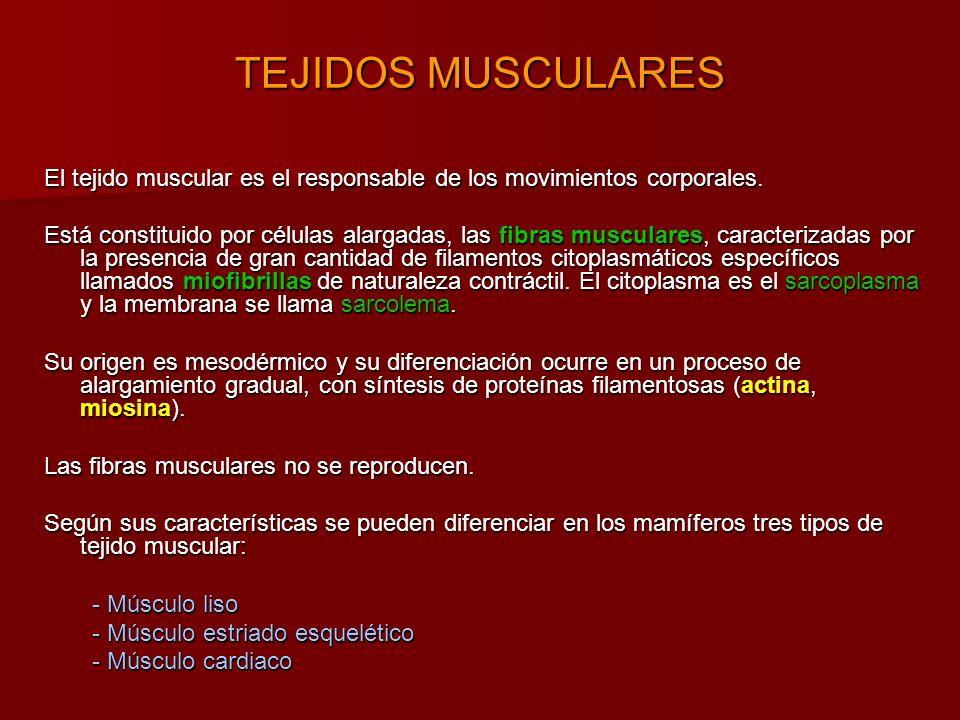 El tejido muscular es el responsable de los movimientos corporales.